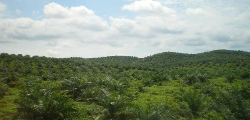 oil plantation farm for sale at orile oyo state Nigeria.